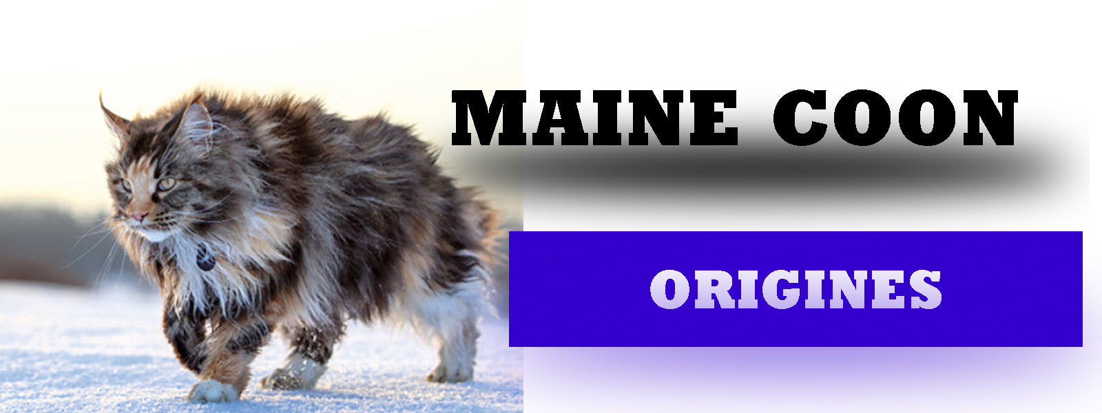 Origines Maine Coon  | La boutique du Maine Coon