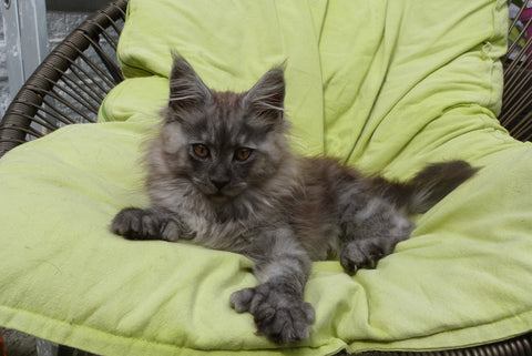 Chaton Maine Coon polidactyle