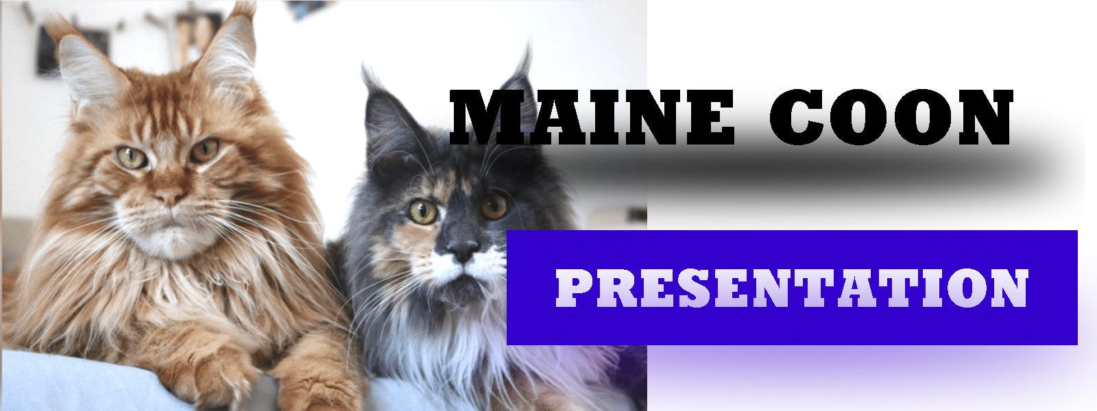 Presentation du Maine Coon  | La boutique du Maine Coon