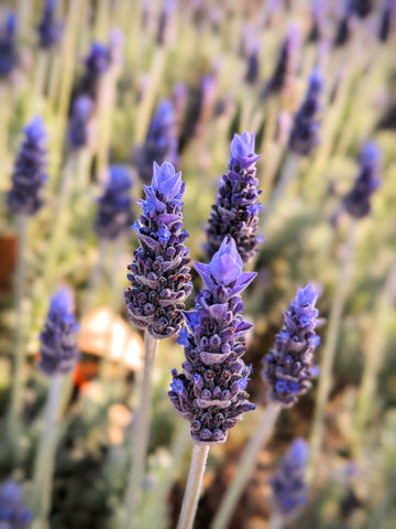 French lavender is sometimes called the 'butterfly plant' because of the tips of the flowers - Pexel Image