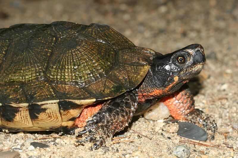How to care for Wood Turtles