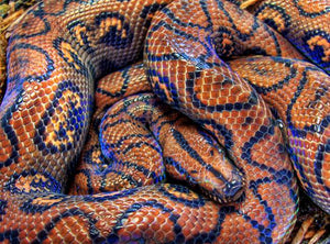 How To Care For Rainbow Boas