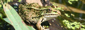 Northern Leopard Frog Care Guide
