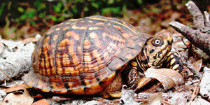 How To Care For Eastern Box Turtles