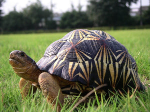 How To Care For Radiated Tortoises