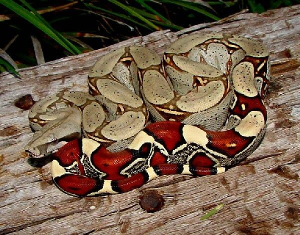 How To Care For Red Tail Boas