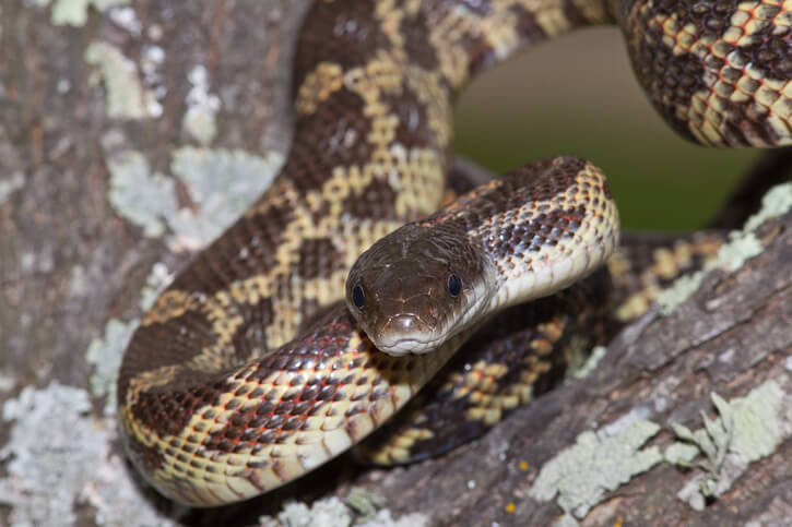 How To Care For Rat Snakes
