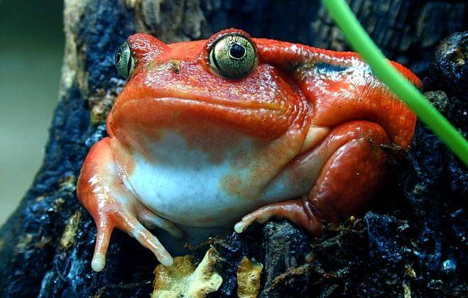 How To Care For Tomato Frogs