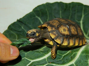 How to care for Yellow Footed Tortoises