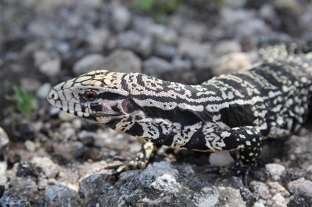 Black and White Tegu Care Guide