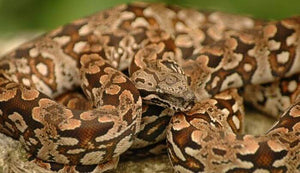 How To Care For Dumeril's Boas