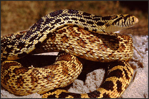 How To Care For Gopher and Bull Snakes