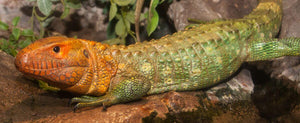 How To Care For Caiman Lizards