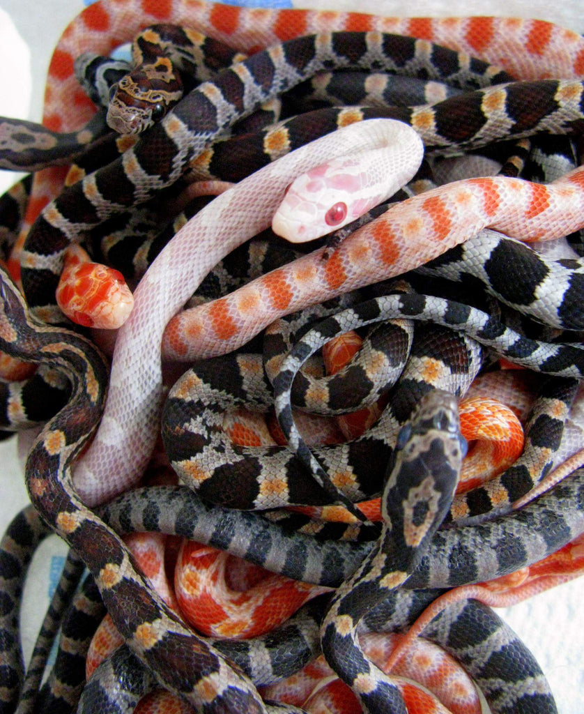 How To Care For Corn Snakes