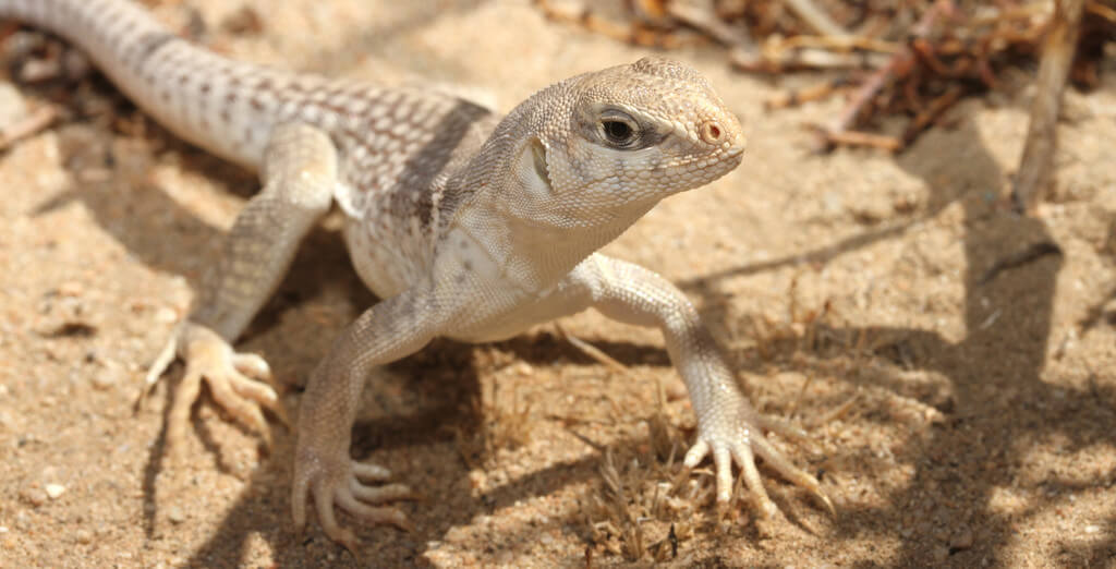 How To Care For Desert Iguanas
