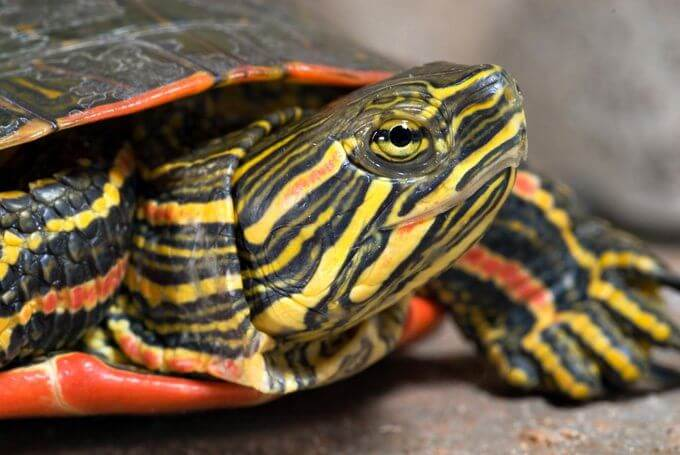 How To Care For Painted Turtles