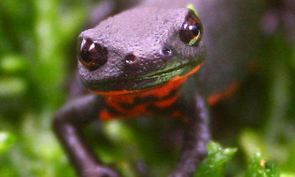How To Care For Fire Bellied Newts
