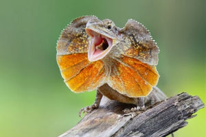 How To Care For Frilled Dragons