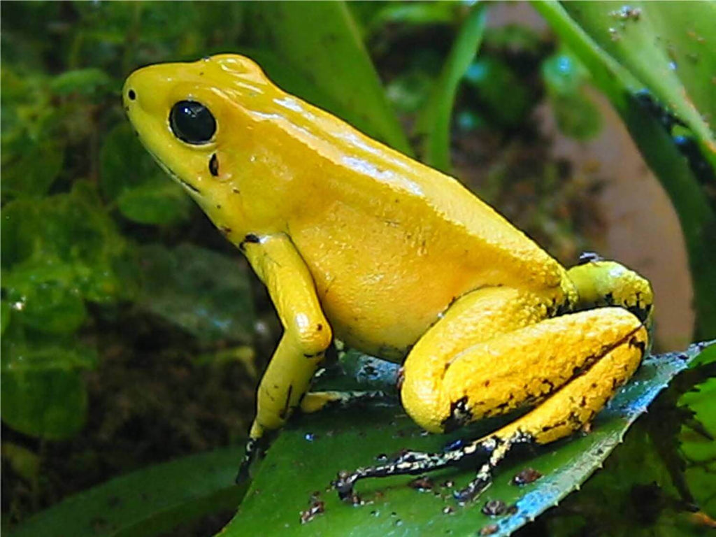 How To Care For Golden Dart Frogs