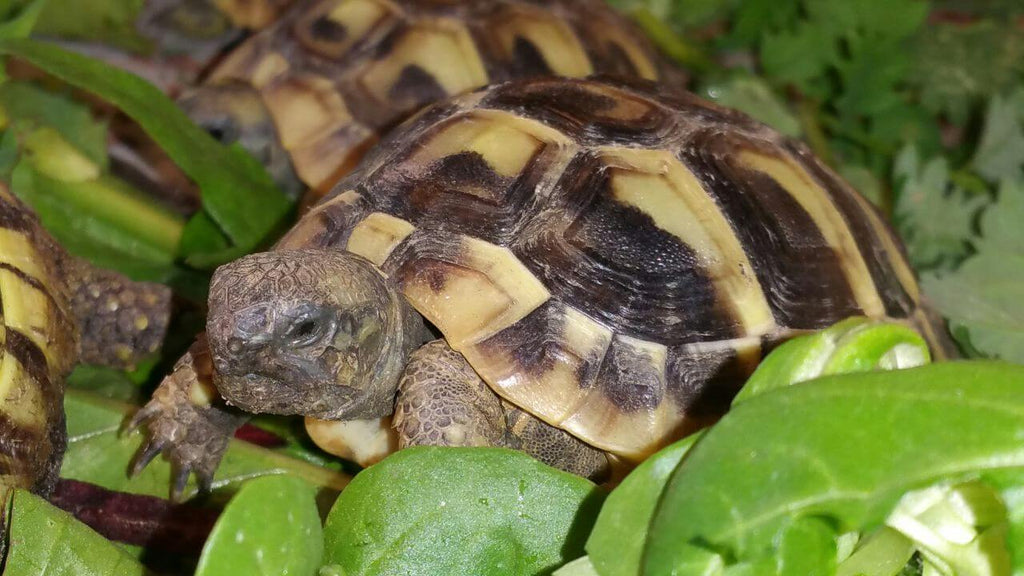 How To Care For Greek Tortoises