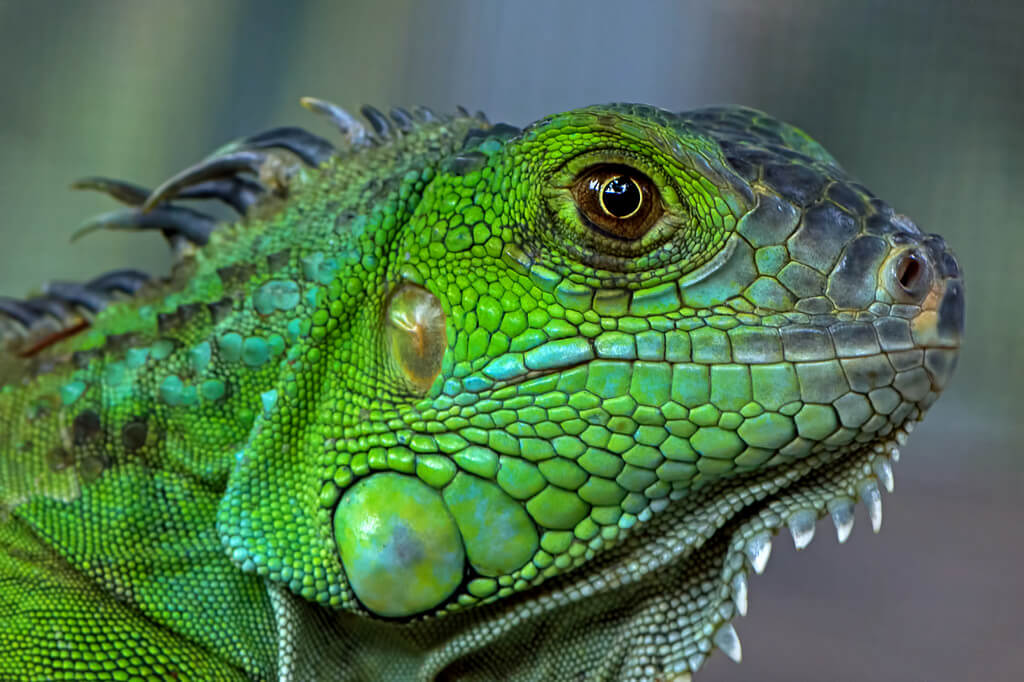 How To Care For Iguanas