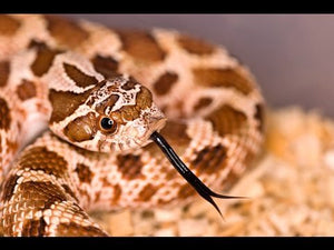 How To Care For Hognose Snakes