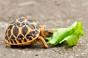 How To Care For Star Tortoises