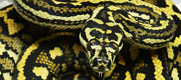 How To Care For Carpet Pythons