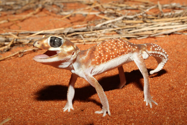 How To Care For Knob Tailed Geckos