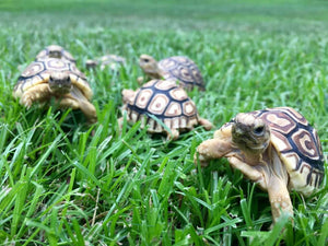 How To Care For Leopard Tortoises