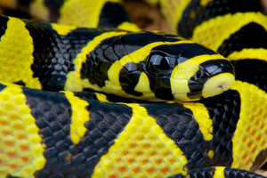 How To Care For Mandarin Rat Snakes