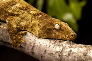 How To Care For New Caledonian Giant Geckos
