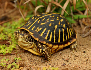 How To Care For Ornate Box Turtles