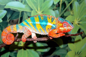 How To Care For Panther Chameleons