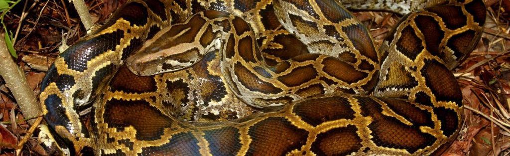 How To Care For Burmese Pythons