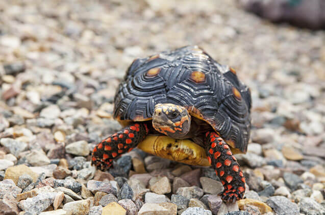 How To Care For Red Footed Tortoises