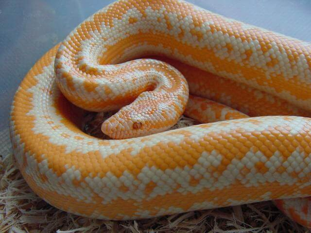 How To Care For Rosy Boas