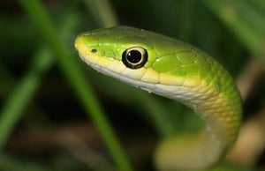 How To Care For Rough Green Snakes