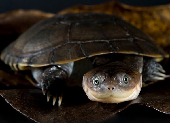 How To Care For Mud Turtles