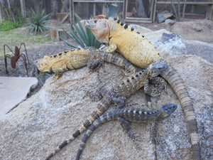 How To Care For Spiny Tailed Iguanas