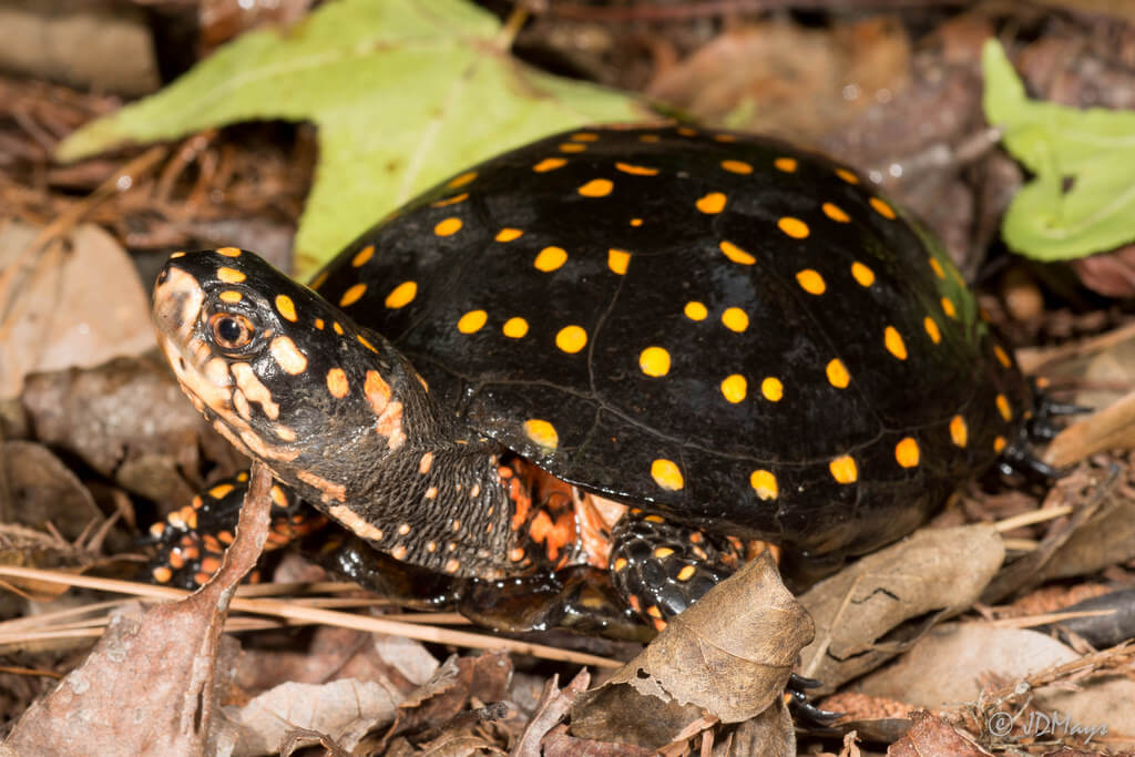 How To Care For Spotted Turtles