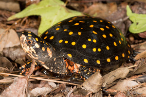Spotted Turtle Care Guide