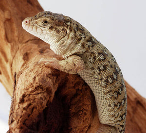 How To Care For Steppe Runner Lizards
