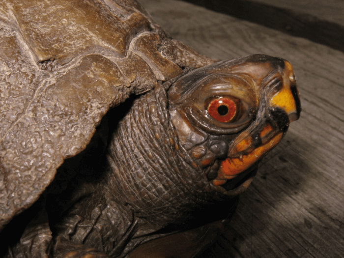 How To Care For Three Toed Box Turtles