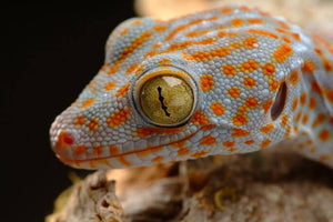 How To Care For Tokay Geckos