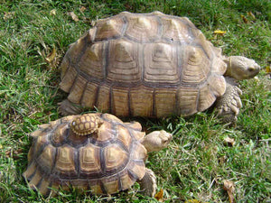 How To Care For Sulcata Tortoises