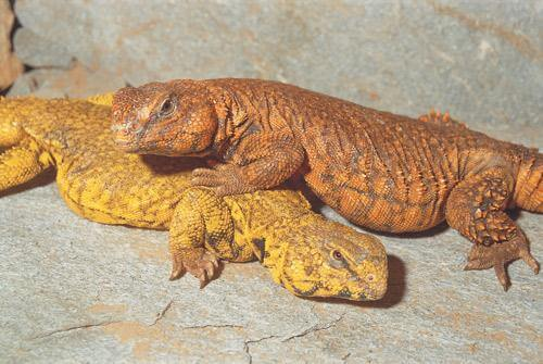 Uromastyx Care Guide