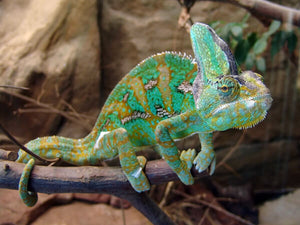 How To Care For Veiled Chameleons