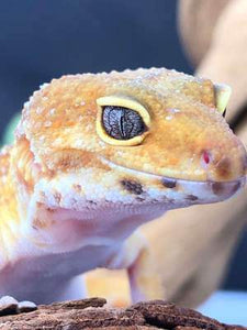 Pet Geckos for sale. Leopard, Crested, Tokay Etc...