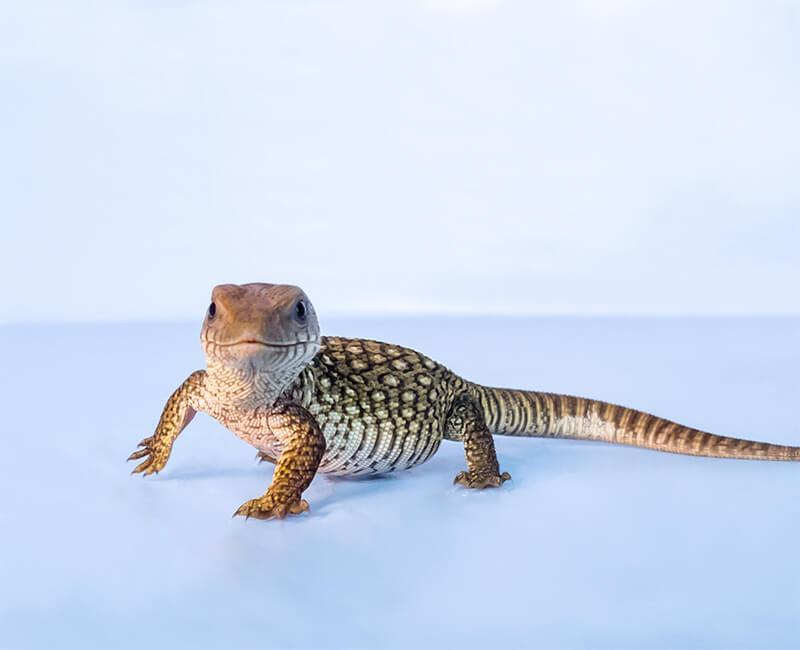 Tegus and Monitors for Sale